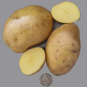 Carola – Wisconsin Seed Potato Certification Program Collection