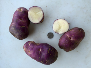 Early Blue – USDA Potato Introduction Station, Sturgeon Bay, WI Collection